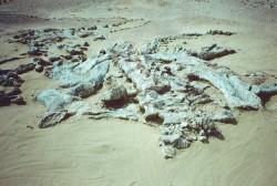 Fossiles et restes de dinosaures