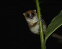 Les microcèbes de Madagascar