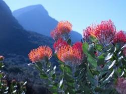 La Région florale du Cap