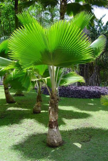 La martinique le jardin de balata un palmier club des voyages - Quand tailler un palmier ...
