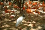 Ibis et flamants roses