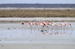 Le ballet des flamants-roses (1/2)