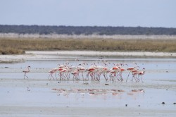 Le ballet des flamants-roses (2/2)