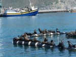Les otaries du port de Hout Bay