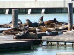 Les otaries (sea lions)