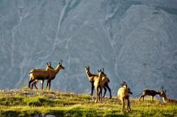 Troupeau de chamois dans le Tyrol autrichien
