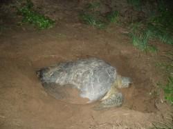 Une tortue verte sur la plage des Hattes