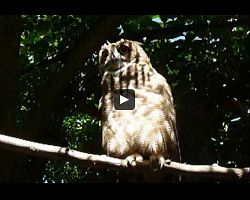 Un hibou grand-duc (eagle-owl)