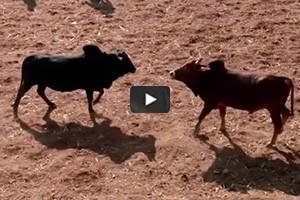 Festival de combats de taureaux au Népal