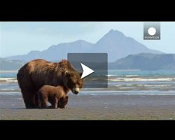 Grizzli, immersion en Alaska