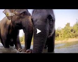 Des éléphanteaux Thaïlandais très joueurs !