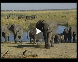 Les éléphants du Botswana