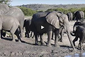 Les éléphants du Savuti